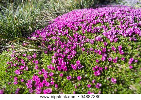 Natural Carpet Of Small Alpine Purple Flowers