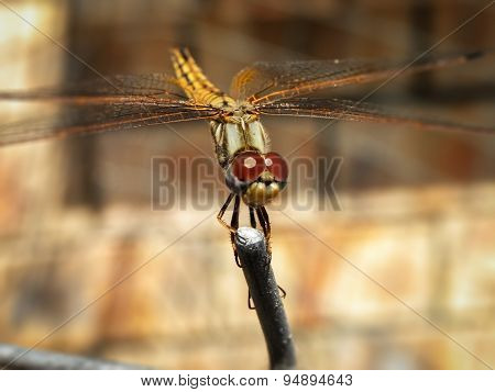 Common Hawker Dragonfly 1