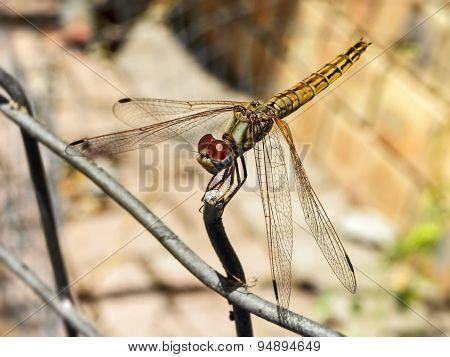 Common Hawker Dragonfly 2