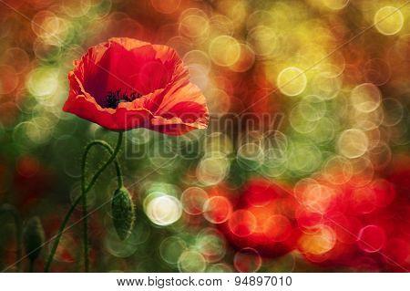 Beautiful Wild Poppy