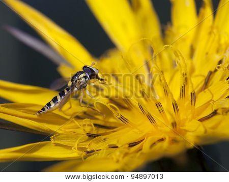 Tiny Hoverfly