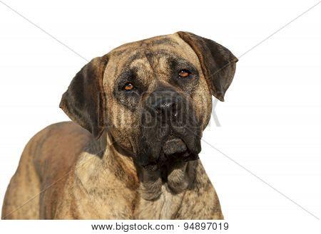 Isolated Mastiff Portrait