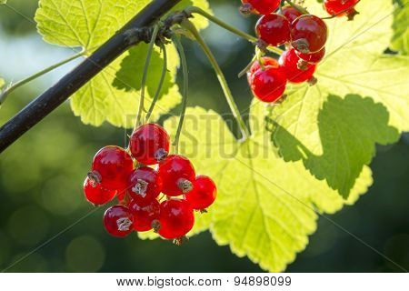 Summer Berries In The Garden, Red Currants On The Bush