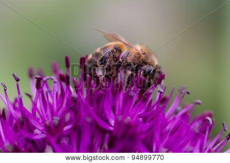 Bee on Allium flower