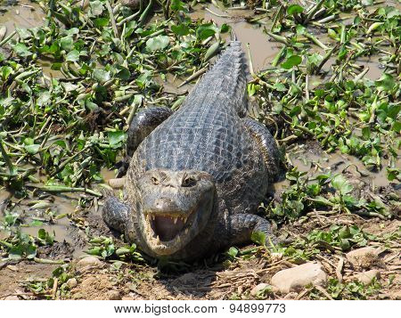 Large basking Caiman