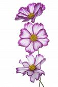 pic of cosmos flowers  - Studio Shot of Fuchsia Colored Cosmos Flowers Isolated on White Background - JPG