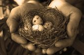 picture of human egg  - Man holding a nest with quail eggs - JPG