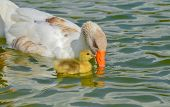 picture of mother goose  - Mother goose and baby goose swimming together - JPG