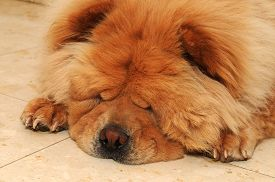 stock photo of chow-chow  - Focusing The Nose Of A Sleeping Cute Chow Chow Dog On The Floor - JPG