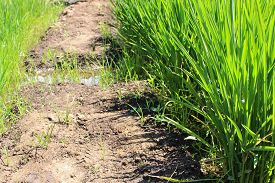 stock photo of water shortage  - Growing rice during a major water shortage - JPG
