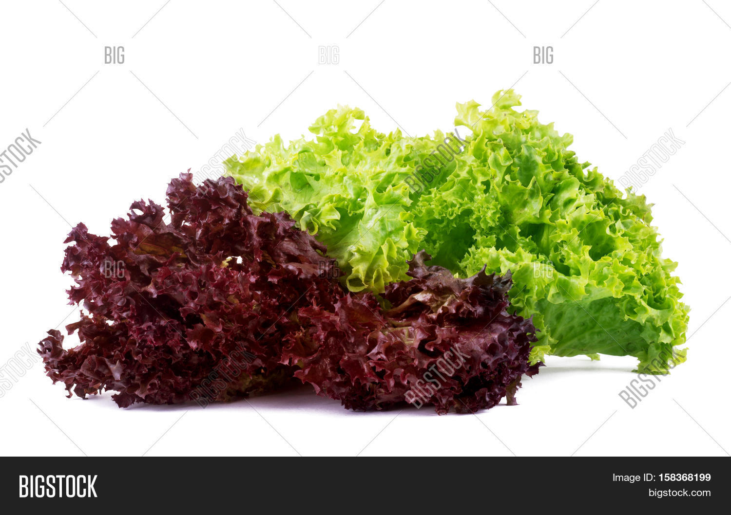 Vegetable Salad Lettuce Lollo Rosso Isolated On White Background Sheet Of Curly Violet Lettuce