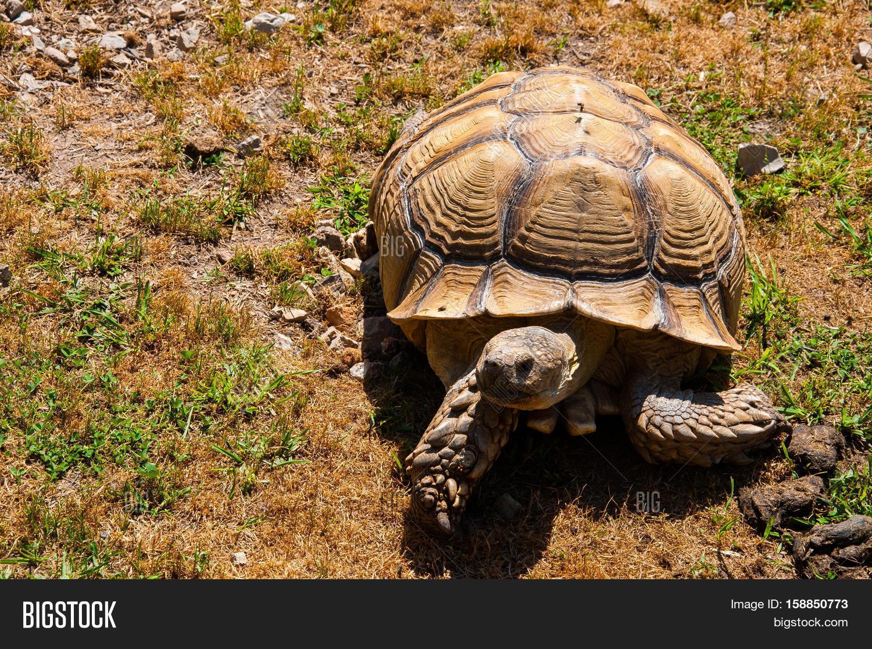 large hard shelled turtle walking image u0026 photo bigstock