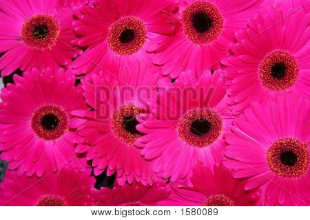 Beautiful Gerbera Fowers