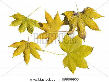 A close up of the yellow autumn leaves (Kalopanax septemlobus). Isolated on white.