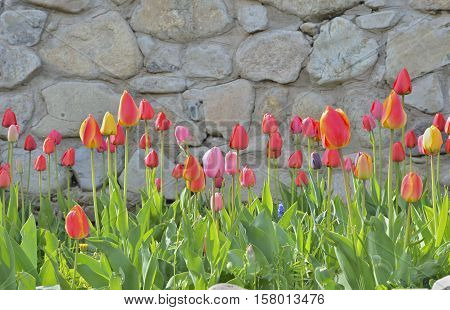 A close up of the flowers tulips.