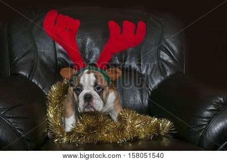 Young English bulldog wearing antler funny expression.