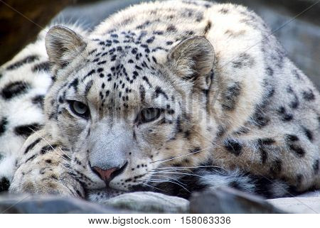 The Rare Snow Leopard at wildlife portrait