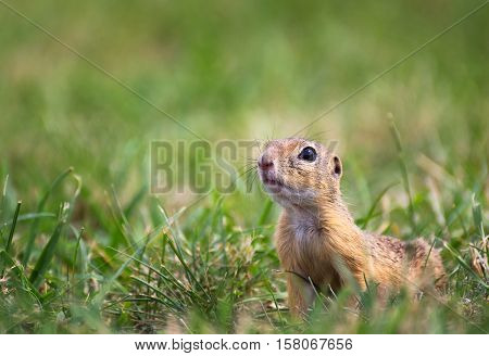 Carefully Ground Squirrel Looking Around on Meadow