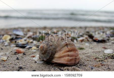 Shell in the sand. sea shell lying on the beach against the sea