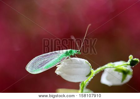 The adults are just as predatory as larvae. Their main prey are aphids and other