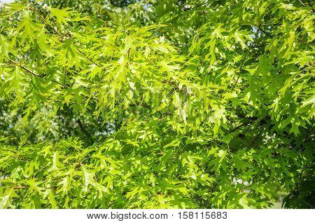 Pin oak or swamp Spanish oak (Quercus palustris). Swamp oak (Quercus palustris). Leaf close up in Sunny summer weather