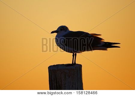 Silhouette Of A Laughing Gull At Sunset - Florida