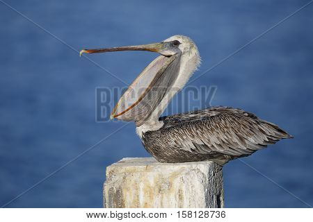 Immature Brown Pelican Yawning On A Dock Piling - Florida