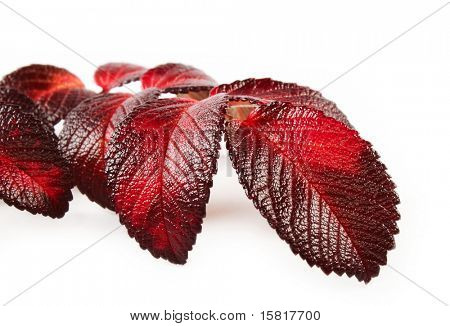 Autumn leaves closeup purple and red, isolated
