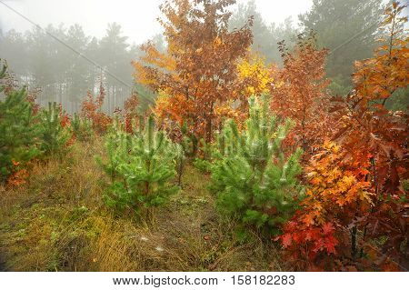 Golden Autumn. Beautiful forest in autumn. It is pleasant to walk through the forest at such a time. Walk and admire such beauty. This walk can be helpful. Cheer up, polyubueshsya beauty, and mushrooms can be found. So that you can come home and mushrooms