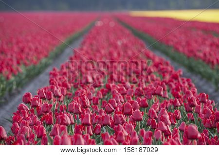 Row Of Colors At Tulip Farm In Gironde