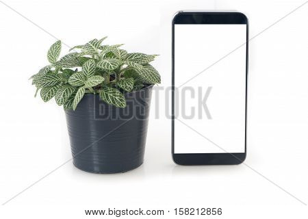 Nerve plant on flowerpot and blank screen of smartphone tablet cell phone on isolated white background. Fittonia verschaffeltii on pot concept of saving natural with technology.