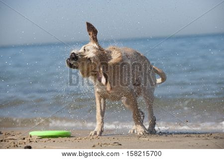 Focused young dog running on the beach Aquitaine France