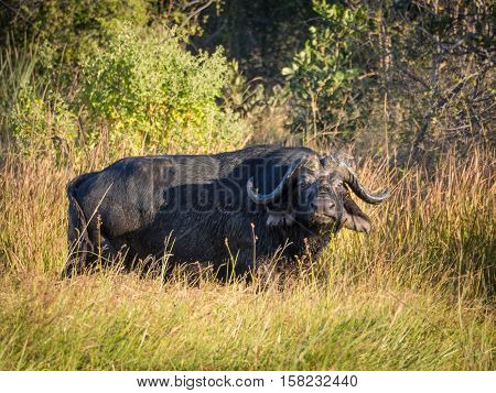 Huge African water buffalo bull standing in swamp with high grass lookin towards the viewer, Moremi NP, Botswana, Africa.
