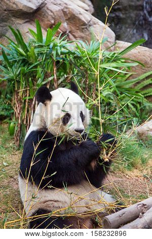 Black And White Panda Eating Bamboo In Ocean Park Hk