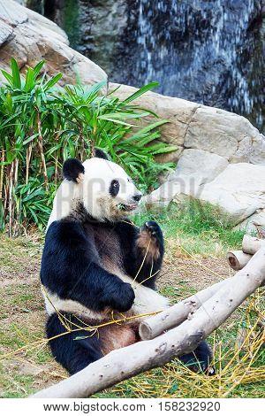 Black And White Panda Eating Bamboo Of Ocean Park Hk