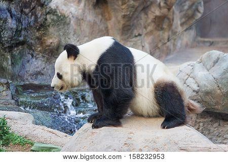 Black And White Panda In Ocean Park In Hong Kong