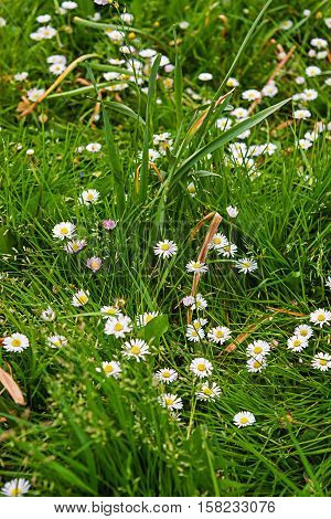 Blooming Daisies In Brecon Beacons In South Wales