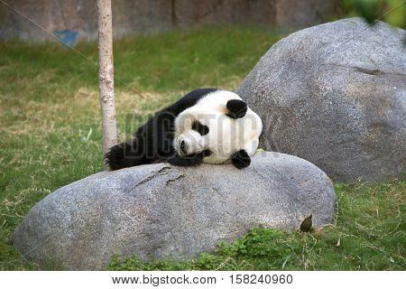 Giant Black And White Panda Relaxing In Ocean Park Hk