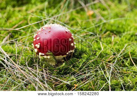 A mushroom (or toadstool) commonly known as the fly agaric or fly amanita