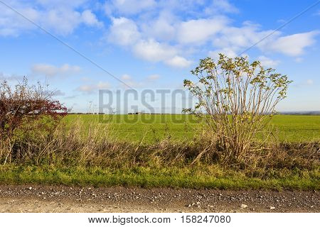 Footpath And Wheat