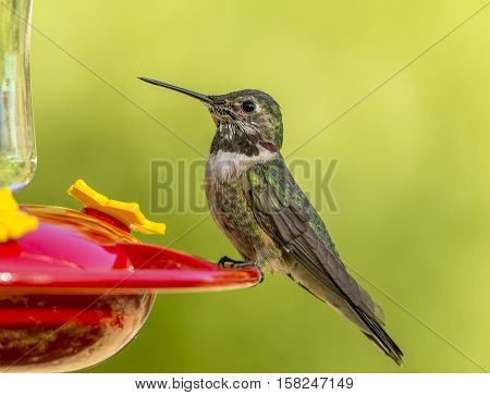 A young Anna's Hummingbird rests on the edge of a hummingbird feeder in a southern Arizona garden.