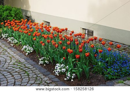 Tulips And Forget Me Not Flowers In Garden Reichenau