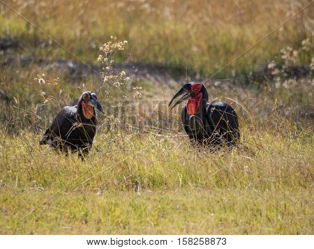 Male and female pair of African southern ground hornbill feeding in high grass, safari in Moremi NP, Botswana
