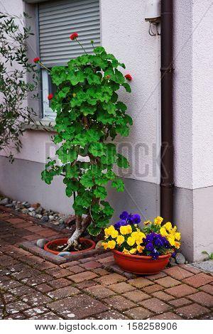 Viola Tricolor Flowers In Garden Reichenau
