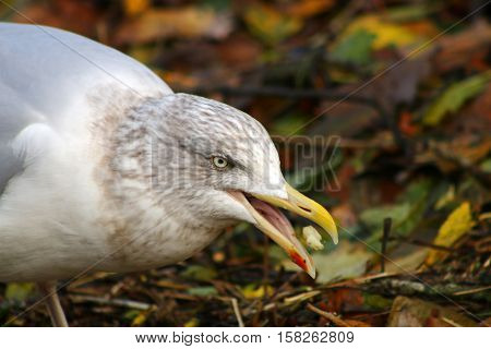 A hungry Herring Gull eating a piece of food