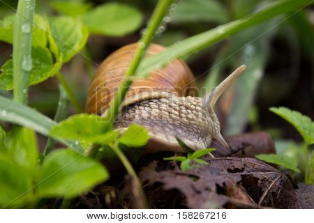 Snail crawling on the grass around the grass wet weather. Snail in the natural environment.