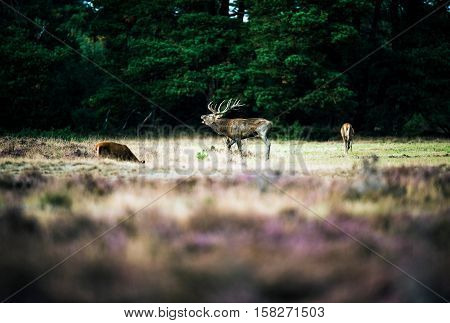Roaring Red Deer Standing Between Hinds In Rutting Season. National Park Hoge Veluwe.