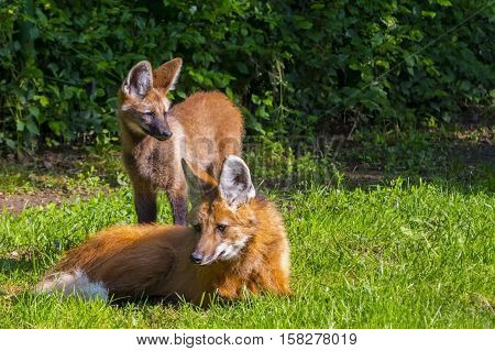 Maned wolf Chrysocyon brachyurus puppy and mother in green