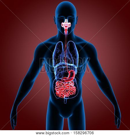 3d render  the human digestive system anatomy.