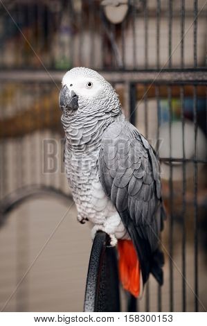 Jaco parrot sitting on its cage looking into camera grey and red colors